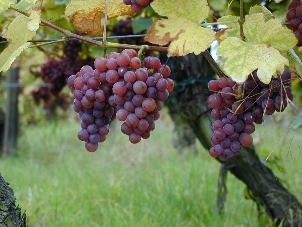 https://upload.wikimedia.org/wikipedia/en/1/11/Gewurztraminer_-_raisins_sur_pied_de_vigne.jpg